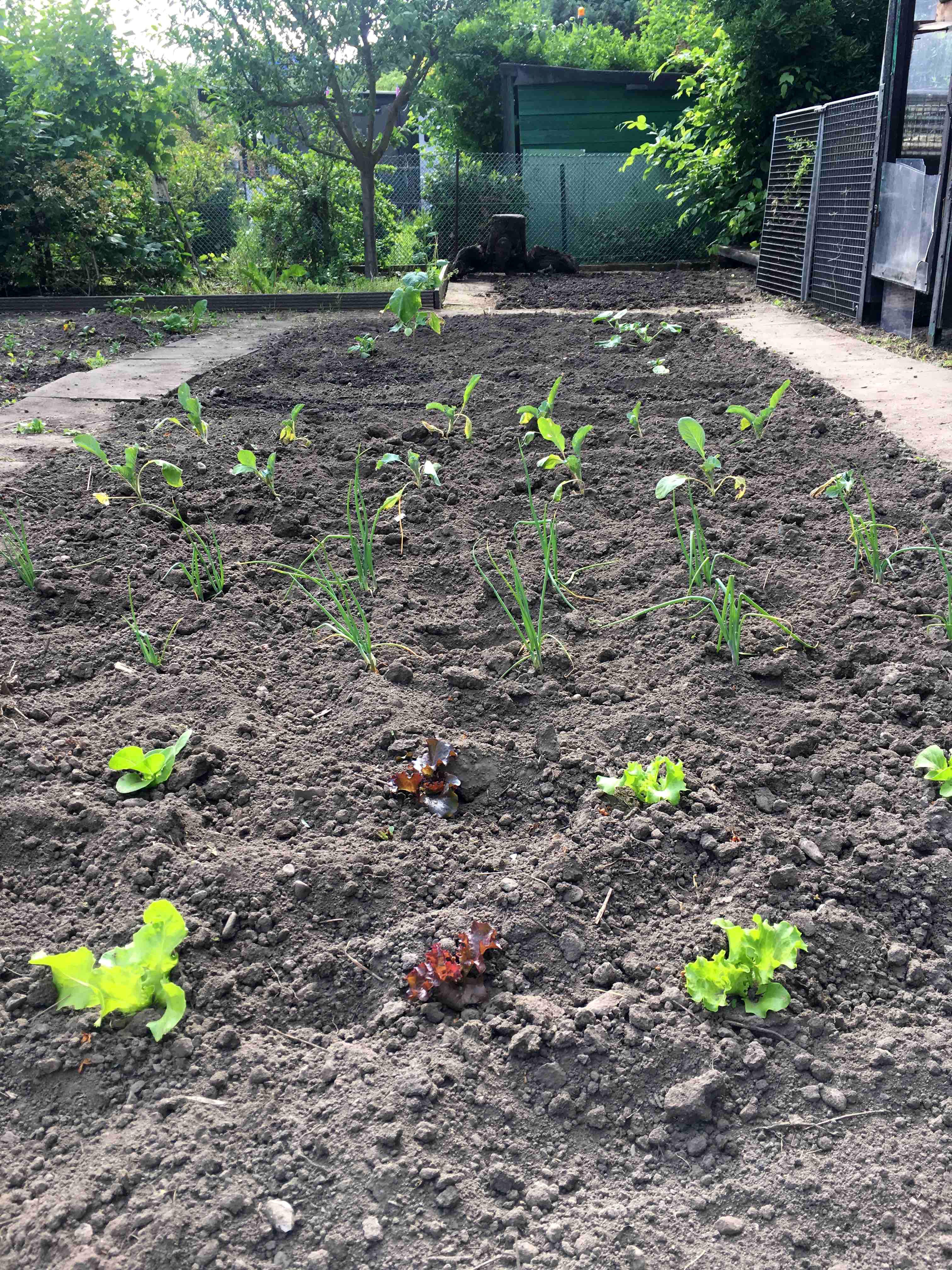 Feld mit Gemüse, Schrebergarten in Köln Nippes